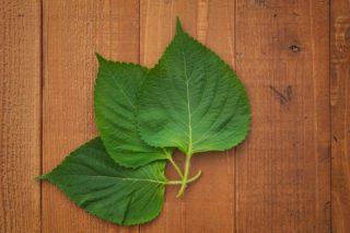 """カロリナ酵素プラスに配合されている89種類の野草醗酵エキスの中の""""シソの葉""""の効果や効能って?"""