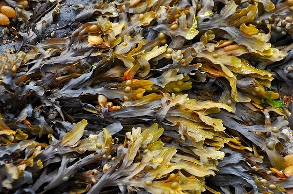 seaweed-270426_640
